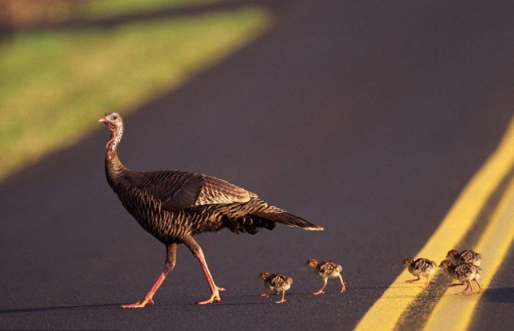 谁是共享单车的核心?先看看柳传志的火鸡理论-天方燕谈